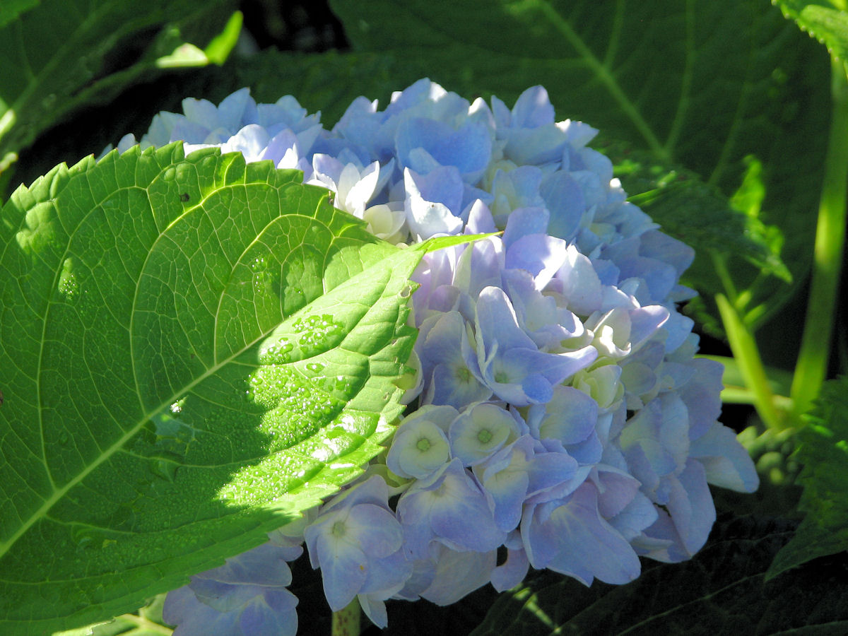 endless summer hydrangea blooming well this year. Black Bedroom Furniture Sets. Home Design Ideas