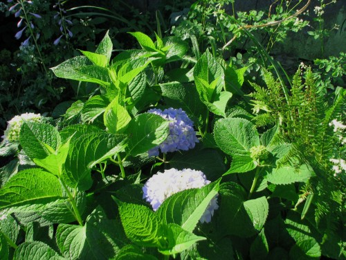 hydrangea_endless_summer_shrub_1