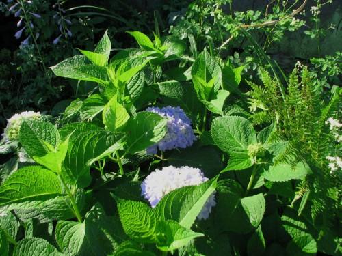 hydrangea_endless_summer_shrub_1