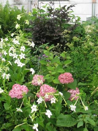 Invincibelle Spirit hydrangea with companion plants