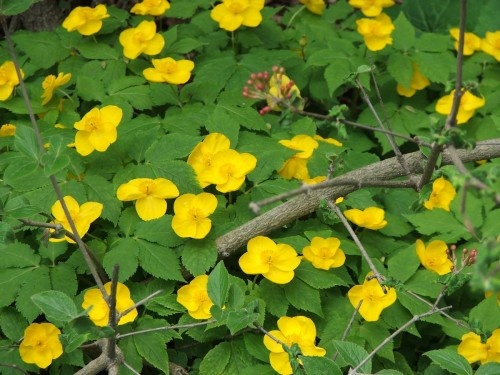 Hylomecon japonicum at Lilactree Farm