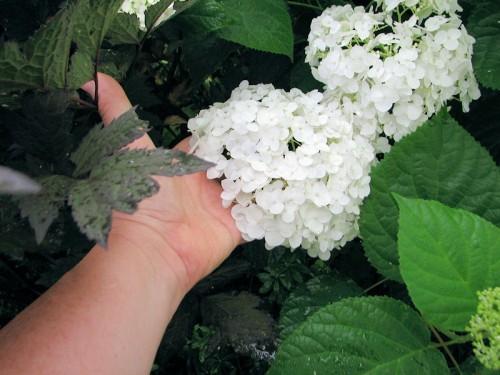 white hydrangea blossom