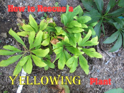 yellowing plant foliage