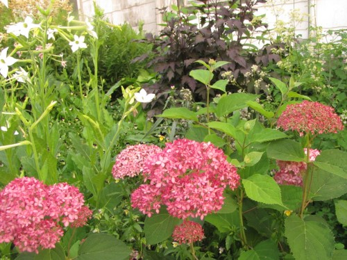 Invincibelle Spirit Hydrangea and Black Negligee actaea