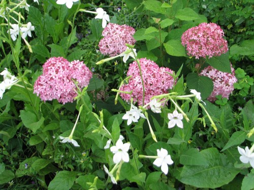 Invincibelle Spirit hydrangea and flowering tobacco