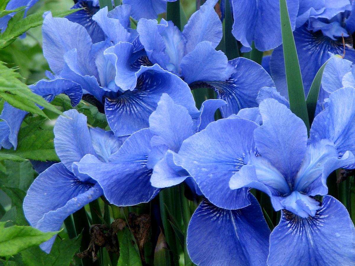 Garden bloggers bloom day june 2009 jay bird siberian iris is starting its fourth izmirmasajfo