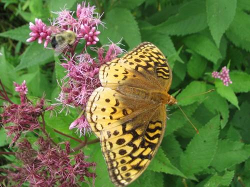 butterfly on joe-pye weed, Eupatorium fistulosum