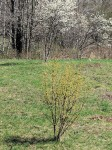 image of Cornelian cherry in foreground, Juneberry in background