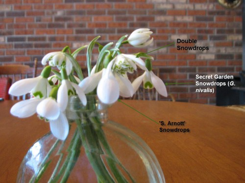 Labeled Snowdrops