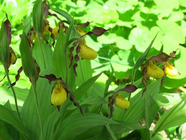 Lady's slipper orchids native to North America