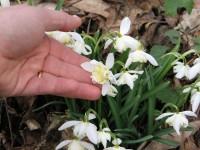 Galanthus nivalis 'Lady Elphinstone'