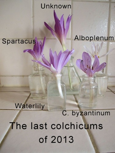 These were the last colchicums to bloom in my garden.