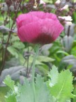 Lauren's Grape poppy grown from Botanical Interests seed