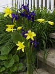 Lemon lilies and Siberian irises