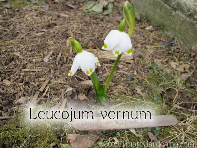 Leucojum vernum, spring snowflake