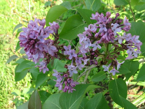 Cluster of lilac blooms