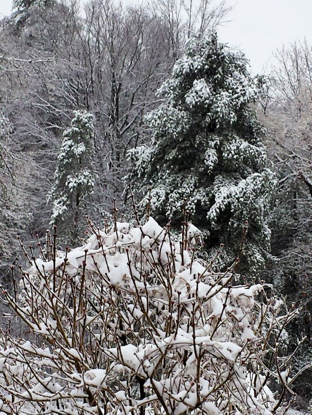 lilac and conifer in snow