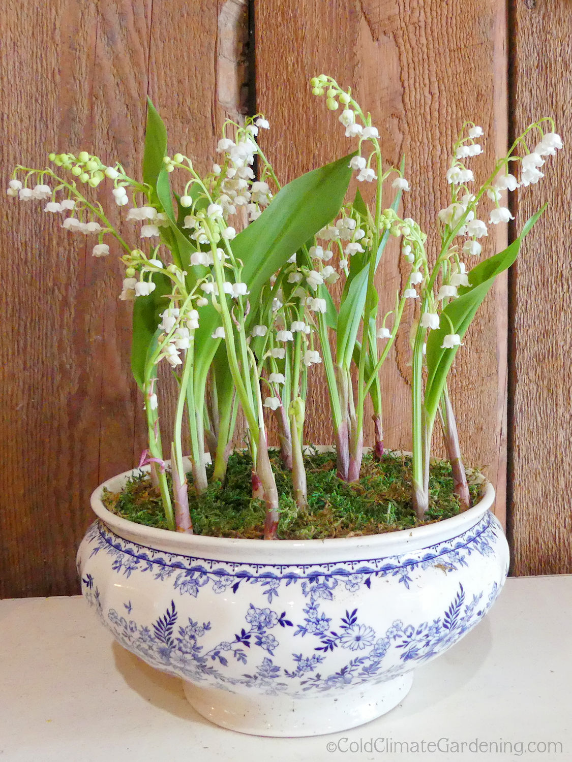 Lily Of The Valley Dressed Up For A Party