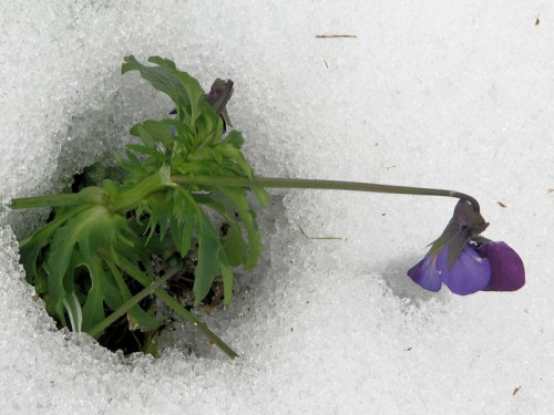 This intrepid Johnny-jump-up persists despite the snow.
