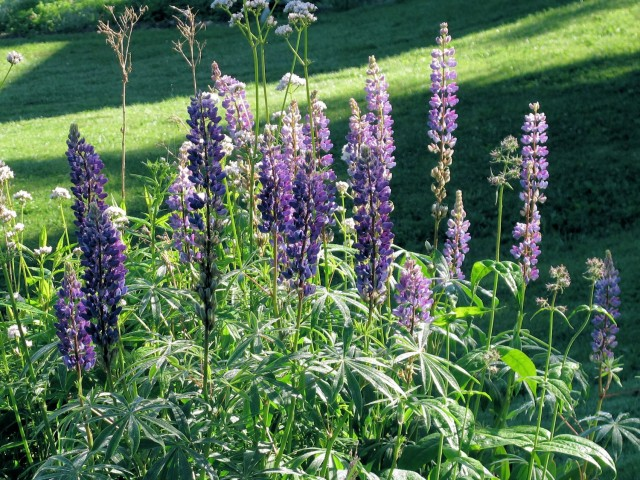 Self-sown lupines