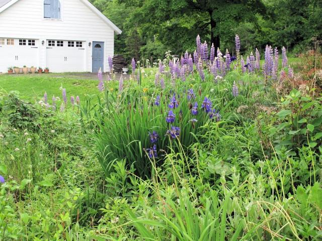 Purple lupines, purple iris, gold iris