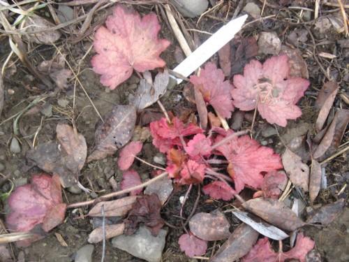 The new growth on 'Geogia Peach' heuchera, a Terra Nova trial plant, has a more intense color