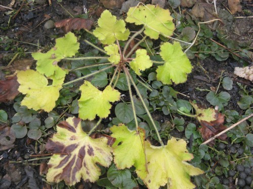 'Pistache' heuchera, a trial plant from Skagit Gardens, was the last plant glowing in autumn and the first to shine in spring.