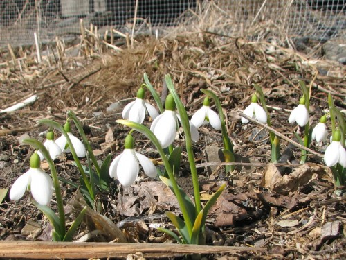 Encouraged by heat radiating from the concrete step, these snowdrops bloom earlier than any others.