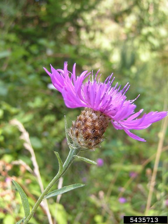 meadow knapweed showing involucre