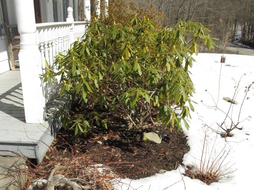 rhododendron surrounded by snow