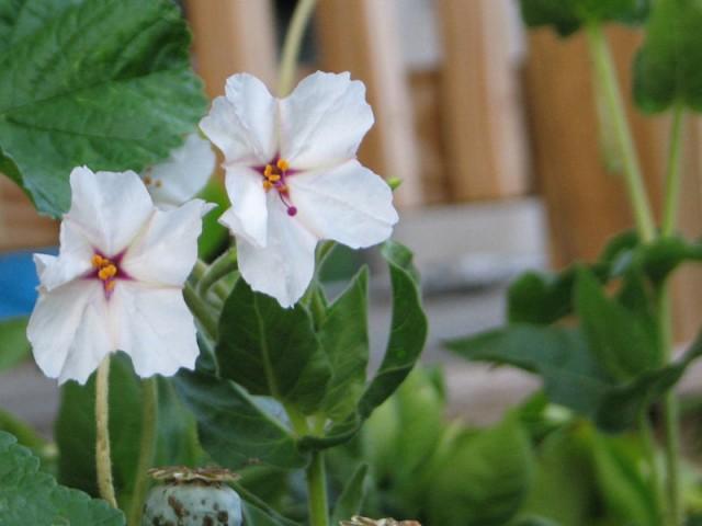 mirabilis_longiflora