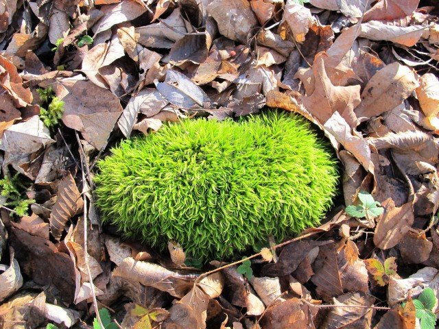brilliant green moss in a bed of brown leaves