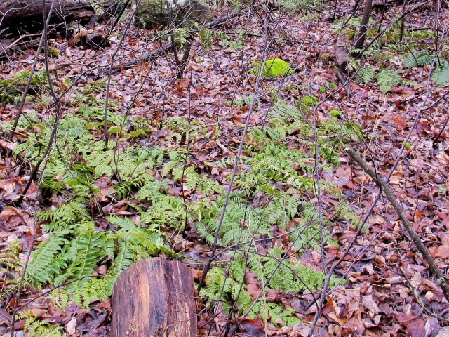 Can you see the two kinds of ferns? (Click to enlarge)
