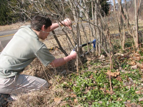 Rejuvenate older shrubs by removing one-third of the thickest limbs, cutting them as close to the ground as possible.