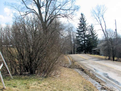 This lilac hedge was blocking the view of the road from our driveway.