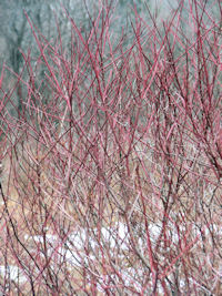 These native red twig dogwoods grow wild on our land.