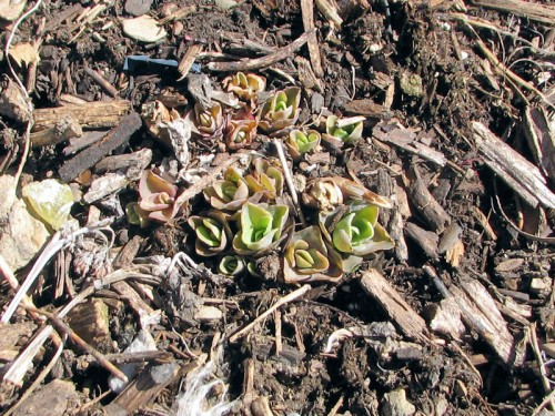 The lime green nubbins of Hot Stuff sedum are readily visible against the dark earth.