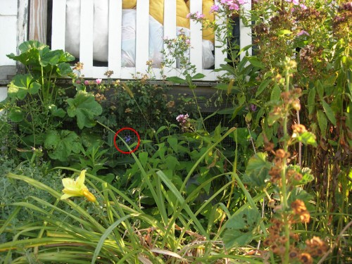 I attempted to grow 'Black and Blue' salvia in 2005. This is what it looked like in August. I circled a blossom so you could find it more easily.