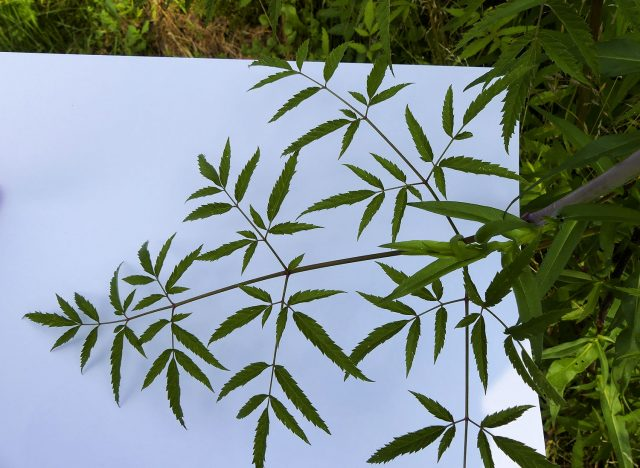 water hemlock leaves