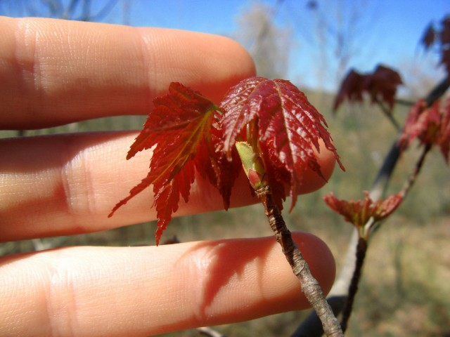 new red maple leaves