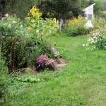 Sweet peas and sunflowers peak 9/12/2008