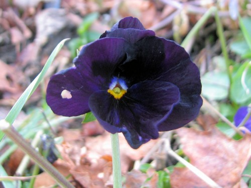 In the colder temperatures of late autumn, one can see that the black pansy is actually deep violet.
