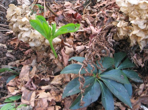 Leave it to the intrepid hellebores to be sending up new growth in the face of winter's onslaught.