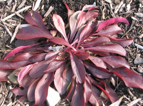 The foliage on 'Dark Towers' penstemon glows ruby red.