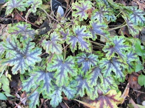 Somewhat protected by neighboring Siberian iris foliage, this 'Tapestry' heucherella maintains an understated elegance.