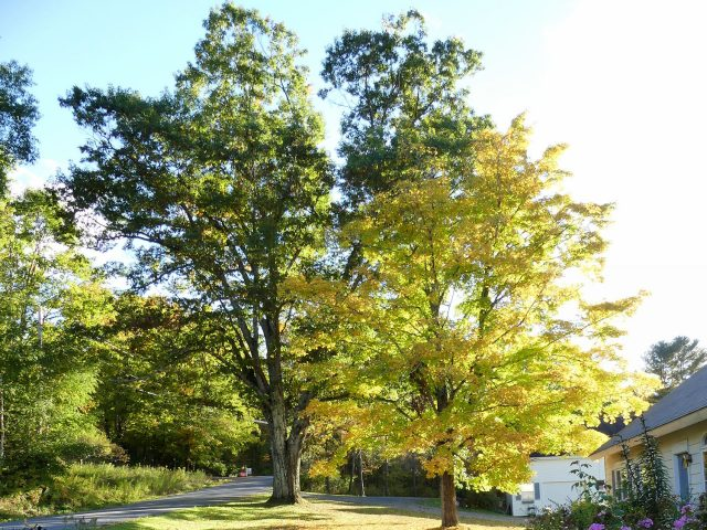 century-old oak and maple trees