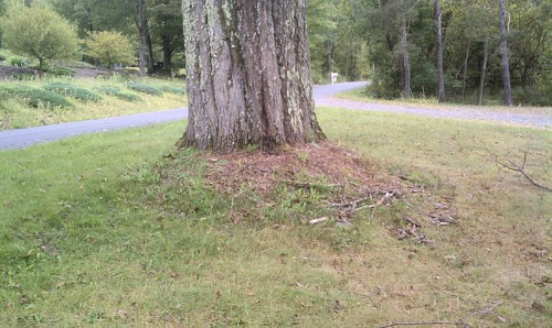 What Kind Of Grass Will Grow Under Oak Trees : Oak tree buried flare