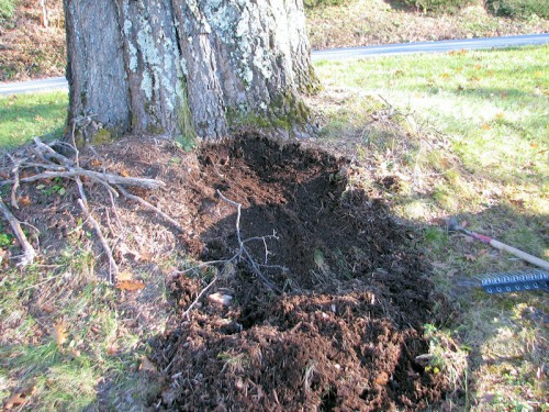 image of mulch removed from around the trunk of an oak tree