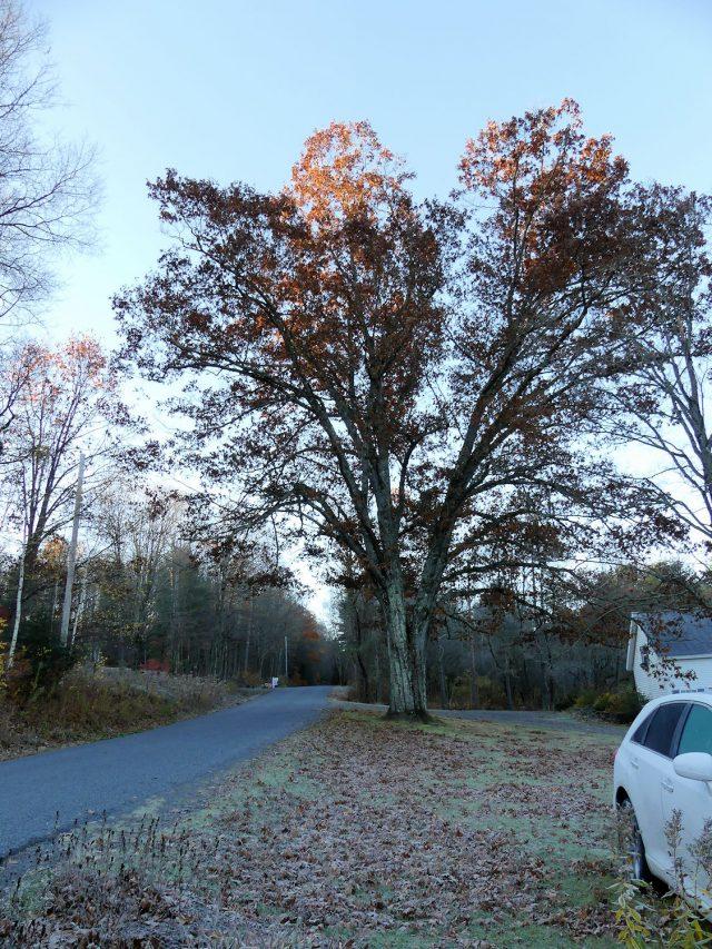 Forked red oak