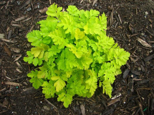 This was one of my most successful winter sowing projects. Golden feverfew. It is just glowing.